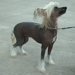 Chinese_Crested_Dog