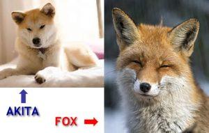 akita-and-fox-lookalike