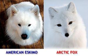 american-eskimo-and-fox-lookalike