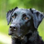 Are Labradors At Risk At Becoming Obese?
