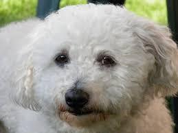 bolognese-dog