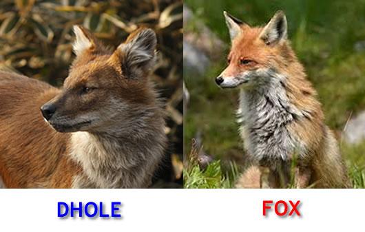 dhole-and-fox-lookalike