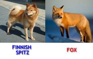 finnish-spitz-and-fox-lookalike