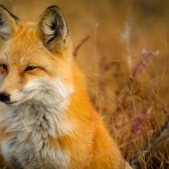 fox-closeup
