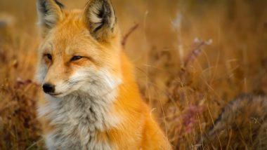 fox-closeup