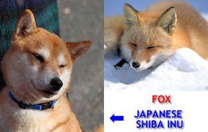 japanese-shiba-inu-and-fox-lookalike