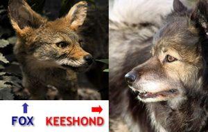 keeshond-and-fox-lookalike