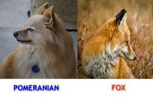 pomeranian-fox-lookalike