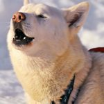 Dogs Howling: Why And How To Stop It