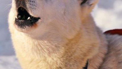 howling-white-husky